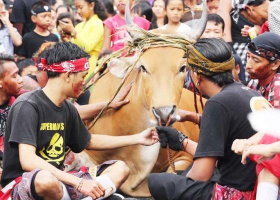 Nusabali.com - warga-berebut-darah-sapi-dipercaya-jadi-obat-penyembuh