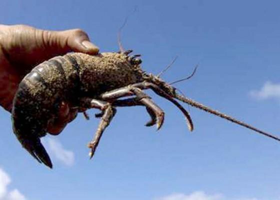 Nusabali.com - nener-dan-lobster-hilang-dari-daftar-ekspor