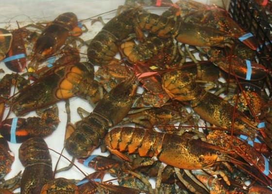 Nusabali.com - nelayan-pengambengan-enggan-tangkap-lobster