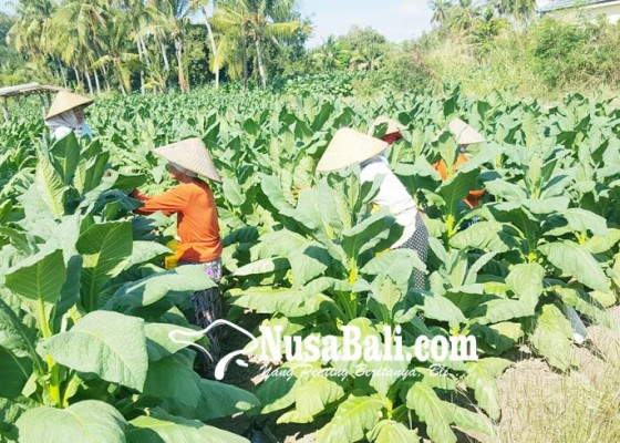 Nusabali.com - petani-tembakau-terima-subsidi-gas-elpiji