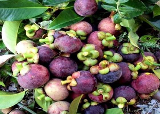 Nusabali.com - hadapi-musim-panen-petani-manggis-tidak-khawatir-harga-anjlok