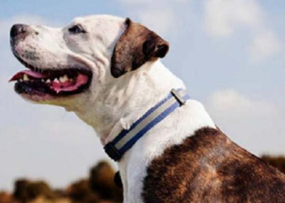 Nusabali.com - sterilisasi-dan-kastrasi-anjing-gratis-masih-minim-peminat