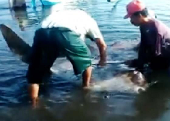 Nusabali.com - ikan-mola-mola-kembali-terdampar-di-buleleng