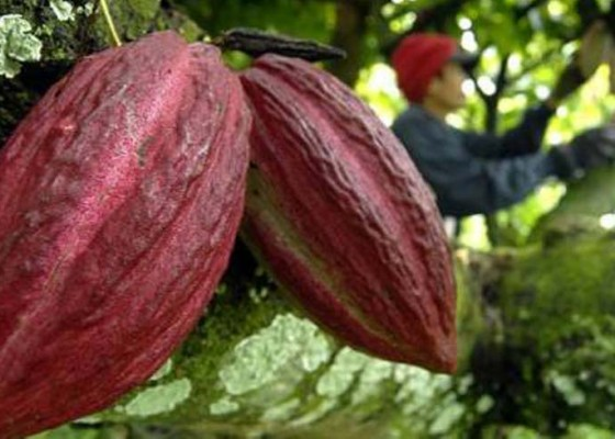 Nusabali.com - jembrana-ekspor-kakao-fermentasi-ke-prancis
