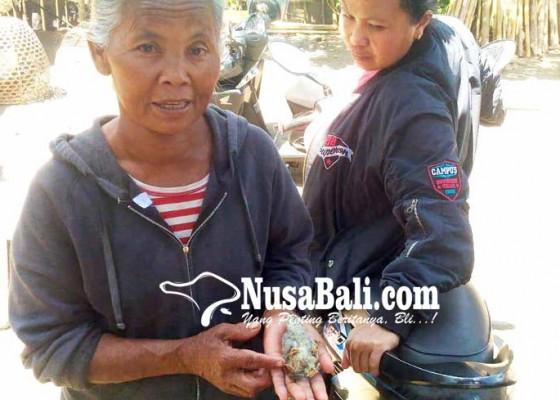 Nusabali.com - ada-ayam-berkaki-empat-di-dusun-bangklet