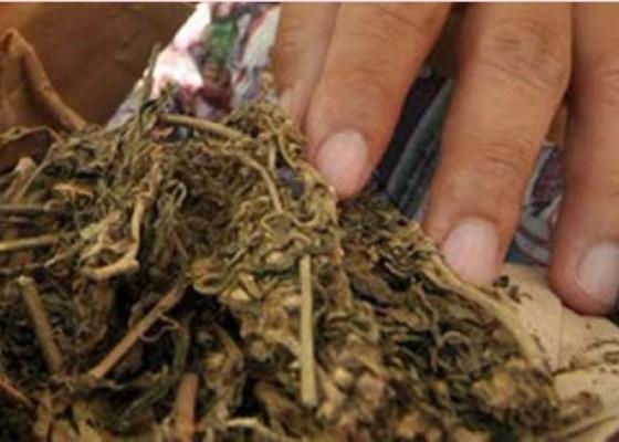 Nusabali.com - kos-guide-digerebek-amankan-6-kg-ganja-aceh