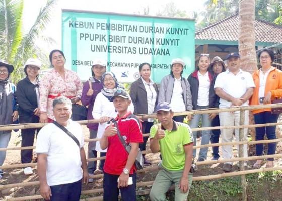 Nusabali.com - peneliti-fakultas-pertanian-unud-kembangkan-durian-kunyit-khas-pupuan