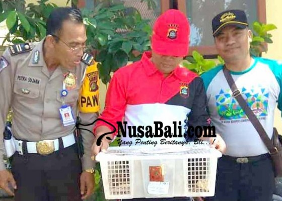 Nusabali.com - karantina-masih-amankan-ratusan-burung-dan-10-musang