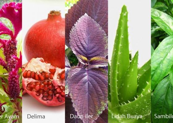 Nusabali.com - mengatasi-keputihan-dengan-tanaman-obat-dan-pijat-refleksi-3