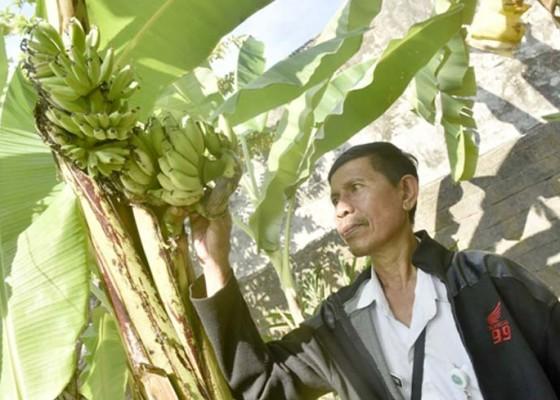 Nusabali.com - ada-pohon-pisang-bertandan-dua