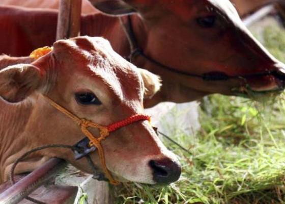 Nusabali.com - bali-hanya-produksi-50-ribu-sapi-potong