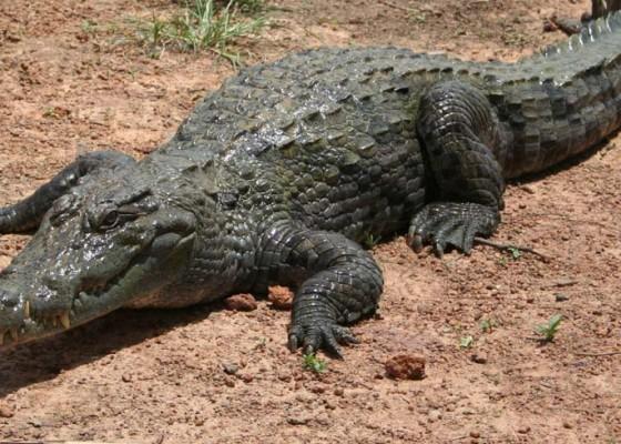 Nusabali.com - nenek-bunuh-aligator-263-kg