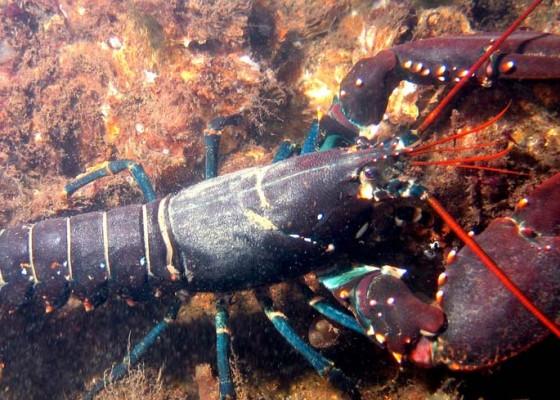 Nusabali.com - biaya-operasional-tinggi-nelayan-jembrana-belum-maksimalkan-budidaya-lobster