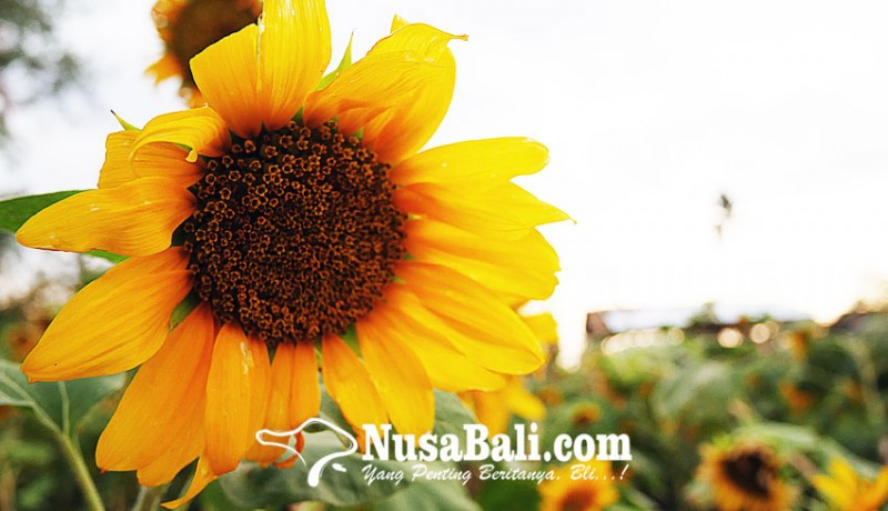 Nusabali Com Kebun Bunga Matahari Kian Jadi Primadona Di Buleleng