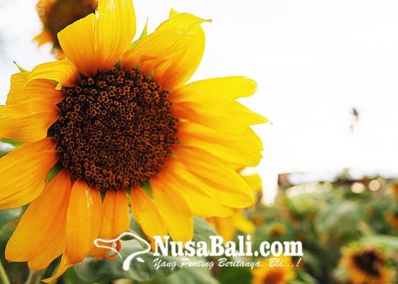 Nusabali.com - kebun-bunga-matahari-kian-jadi-primadona-di-buleleng