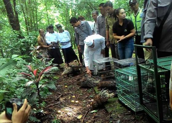 Nusabali.com - sembilan-landak-jawa-dan-elang-bido-dilepasliarkan-di-hutan-besi-kalung