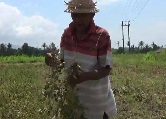 Nusabali.com - musim-kemarau-petani-gagal-panen