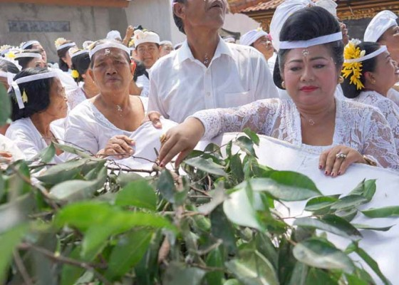 Nusabali.com - mamukur-massal-di-desa-pakraman-subagan