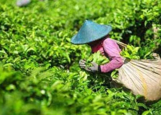 Nusabali.com - konsumsi-teh-di-indonesia-menurun
