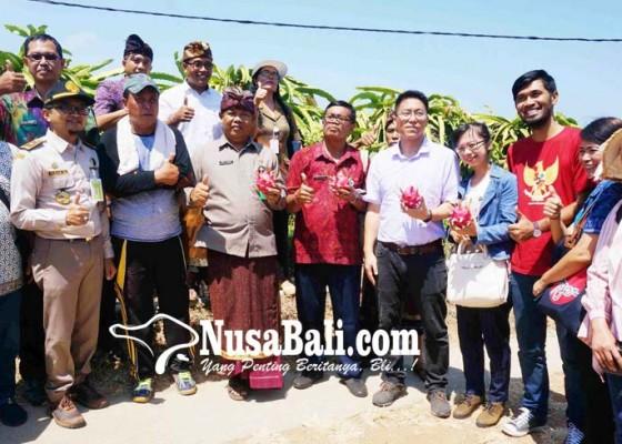 Nusabali.com - buah-naga-buleleng-siap-tembus-pasar-ekspor