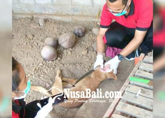 Nusabali.com - anjing-diduga-rabies-gigit-3-warga