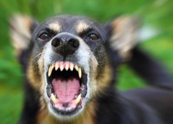 Nusabali.com - anjing-gigit-3-warga-positif-rabies
