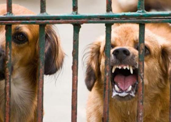 Nusabali.com - 62-ekor-anjing-dieliminasi-di-banjar-sumbul