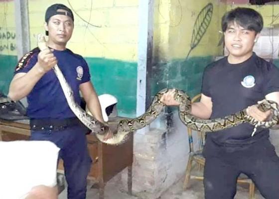 Nusabali.com - malam-hari-ular-masuk-vila