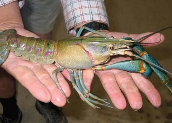 Nusabali.com - harga-lobster-mulai-turun