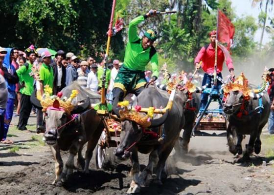 Nusabali.com - ijogading-timur-rebut-gelar-juara-makepung-jembrana-cup