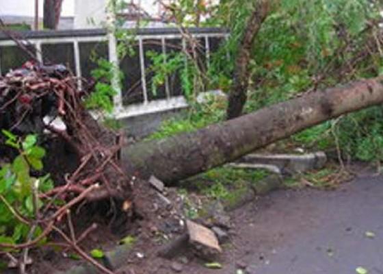 Nusabali.com - dlh-diharapkan-pangkas-pohon-perindang