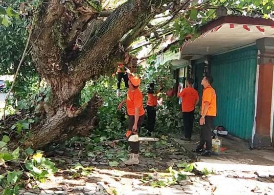 Nusabali.com - pohon-waru-tua-tumbang-nyaris-hancurkan-toko