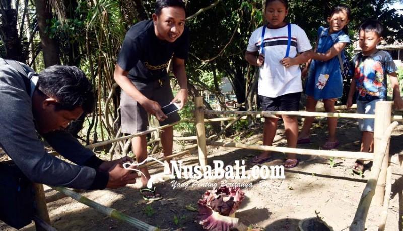 www.nusabali.com-bunga-bangkai-tumbuh-di-bantaran-tukad-bindu