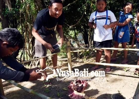 Nusabali.com - bunga-bangkai-tumbuh-di-bantaran-tukad-bindu