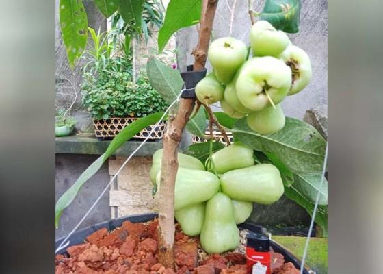 Nusabali.com - merayakan-tumpek-uduh-di-perkotaan-dengan-menanam-buah-lewat-tabulapot