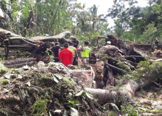 Nusabali.com - pohon-beringin-roboh-hancurkan-belasan-palinggih