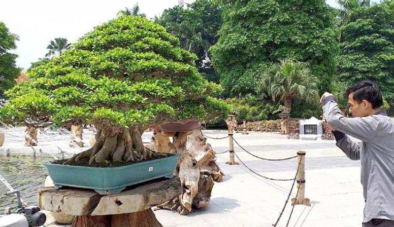 www.nusabali.com-bonsai-seharga-rp-1-miliar