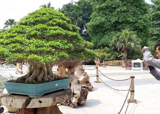 Nusabali.com - bonsai-seharga-rp-1-miliar