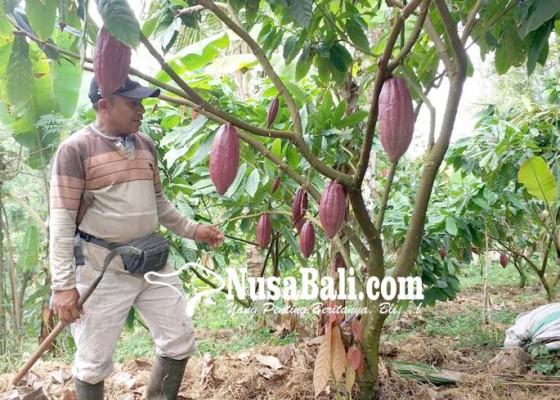 Nusabali.com - kakao-ekspor-ditarget-200-ton-sementara-terpenuhi-125-ton