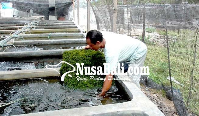 www.nusabali.com-anggur-laut-dikembangkan-di-buleleng
