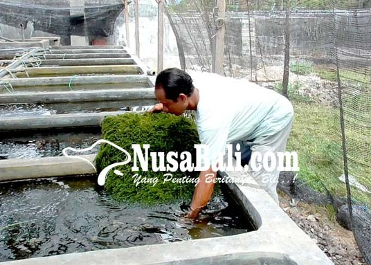 Nusabali.com - anggur-laut-dikembangkan-di-buleleng