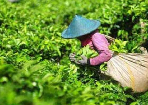 Nusabali.com - ekspor-teh-diproyeksikan-naik-10-persen