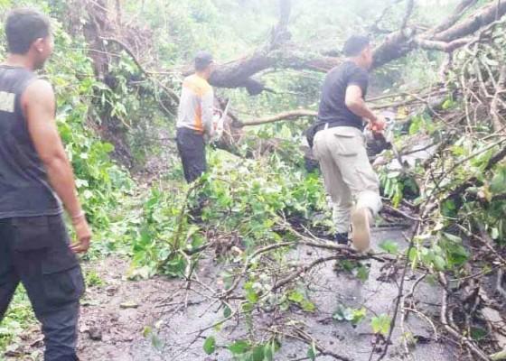 Nusabali.com - pohon-juwet-tumbang-akses-jalan-tertutup