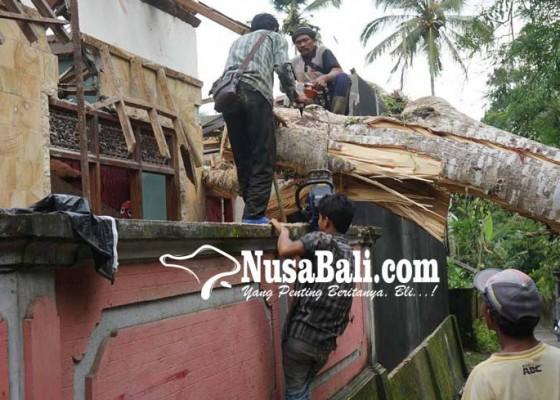 Nusabali.com - rumah-dan-motor-tertimpa-albesia