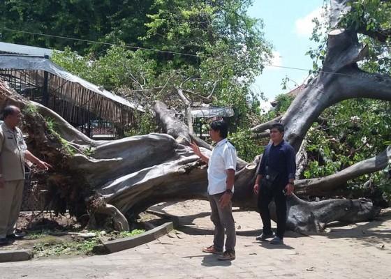 Nusabali.com - pohon-bertumbangan-di-areal-taman-budaya
