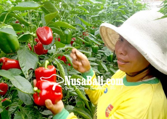 Nusabali.com - harga-paprika-anjlok-pasca-bencana-mengepung