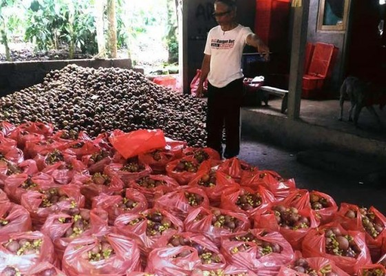 Nusabali.com - panen-manggis-melimpah-harga-anjlok
