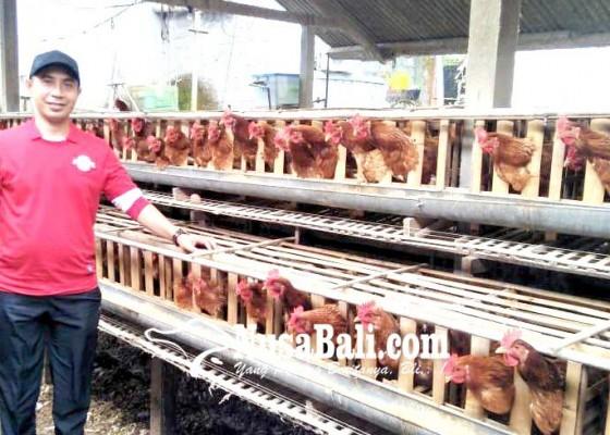 Nusabali.com - peternak-pertanyakan-jatah-jagung-impor