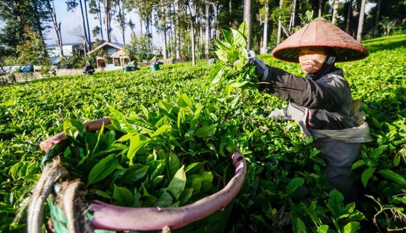 www.nusabali.com-peningkatan-produksi-teh