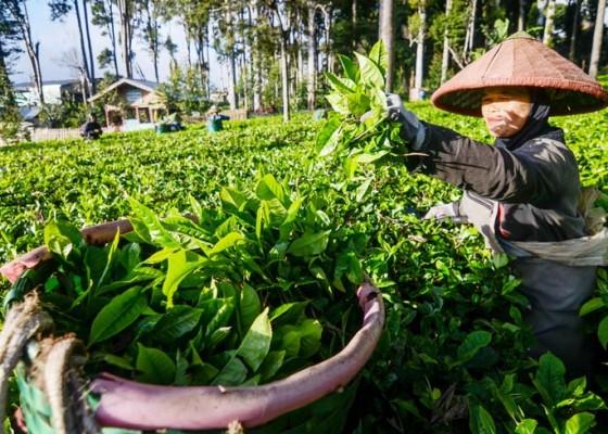 Nusabali.com - peningkatan-produksi-teh
